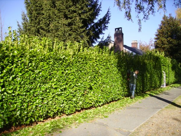 Nicely trimmed hedges by a sidewalk